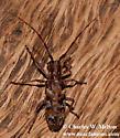Monochamus clamator rubigineus? - Monochamus clamator