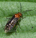 Sawfly ? - Hemichroa crocea