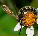 What type of wasp? - male