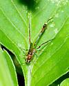 Ichneumon Wasp? - Anomalon - female