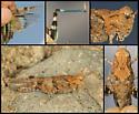 Trimerotropis fontana - female