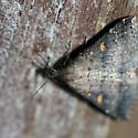 Renia sp. or Tetanolita sp.? - Tetanolita - female