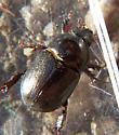 Rhinoceros Beetle (Dynastinae)? - Euetheola rugiceps