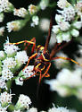 Very active on flowers - Poecilopompilus interruptus - female