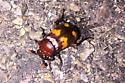 American Burying Beetle (?!?) - Nicrophorus