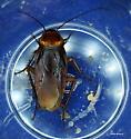 Big Cockroach - Periplaneta americana