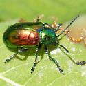 What is this interesting looking beetle? - Chrysochus auratus