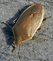 Chlorochroa senilis