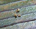 Globular Springtail - Ptenothrix beta