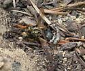Robber Fly - Callinicus pollenius - female