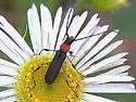Red and Black Beetle on a White Daisy in West Fork of Oak Creek Canyon - Rhopalophora meeskei