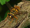 fly - Milesia virginiensis - male