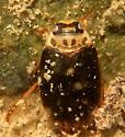 Diver July 24 - Rhantus gutticollis