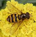 Flower Fly - Eupeodes latifasciatus