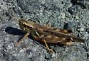 Spurthroat - Melanoplus sanguinipes - male