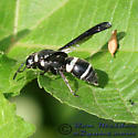 Wasp - Euodynerus megaera - female