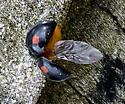 Chilocorus stigma - Twice-stabbed Lady Beetle?