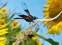 Sunflower Skimmer #1 - Libellula luctuosa - male