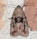 Moth - Sympistis kappa - female