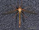 Tipulidae - female