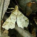 Owlet? - Phalaenophana pyramusalis