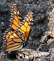 Monarch Butterflies Mating - Danaus plexippus - male - female