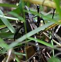 Romalea guttata? - Romalea microptera
