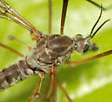 crane fly - Tipula dietziana - female