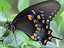 Butterfly - Papilio troilus