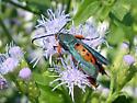 Squash Vine Borer Moth - Melittia cucurbitae - Melittia cucurbitae