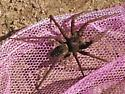 Fishing spider? - Dolomedes vittatus