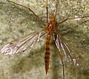 Tiger Crane Fly - Nephrotoma ferruginea - female