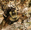 black and yellow fly - Volucella bombylans-complex
