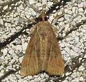 A very creased moth - Hypena scabra