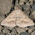 Dark-bordered Granite Moth - Digrammia neptaria