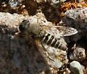 unidentified Diptera - Aphoebantus