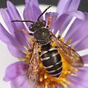 Epeolus sp.? - Epeolus autumnalis - female