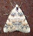 Pale moth - Allerastria albiciliatus