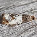 Doubleday's Notocelia Moth - Notocelia rosaecolana