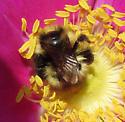 Unknown bumblebee - Bombus