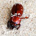 Beetle Found Upside Down on Beach - Odontotaenius disjunctus