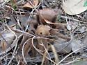 Tarantula - Aphonopelma hentzi - female