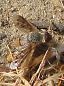 Bee Fly unidentified   - Neodiplocampta