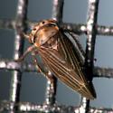 Topographic Leafhopper - Agallia quadripunctata