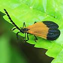 Beetle - Calopteron terminale