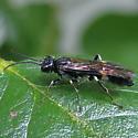 Allantus nigritibialis - female