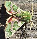 Green moth - Proserpinus lucidus - male