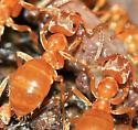 Ants - Lasius umbratus