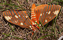 Regal Moth - Citheronia regalis