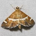 Hawaiian Beet Webworm - Spoladea recurvalis